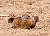 """<div class=""""jaDesc""""> <h4> Ground Hogs Wrestling - May 3, 2013</h4> <p>I was walking around a large cornfield this afternoon looking for the odd bird while my car was getting repaired.  A pair of Ground Hogs came racing out in front of me and started wrestling in the dusty dirt.  My guess is this was some sort of courtship routine.</p> </div>"""