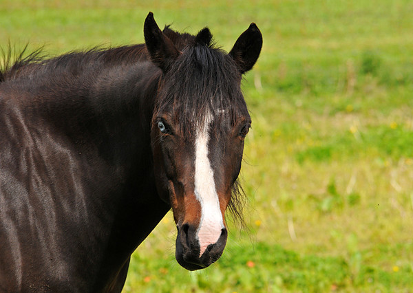 """<div class=""""jaDesc""""> <h4> Horse with Blue Eye - May 17, 2010</h4> <p>  As I was driving by a pasture where 3 horses were grazing, I noticed this interesting horse with a blue right eye.  He was very friendly and looked right at me as I took photos of him from my truck window.</p> </div>"""