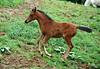 "<div class=""jaDesc""> <h4>Arabian Foal Frolicking - May 4, 2009</h4> <p> </p> </div>"