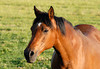"<div class=""jaDesc""> <h4> Arabian Cross Mare in Afternoon Sun - June 7, 2010</h4> <p> This Arabian Cross mare came over to the fence so I could get her photo from my truck window.</p> </div>"