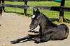"""<div class=""""jaDesc""""> <h4> Black Arabian Filly Relaxing - April 16, 2012</h4> <p> We met this black Arabian Filly at a training facility in Virginia.  She's relaxing after a romp around the paddock and a dust bath.</p> </div>"""