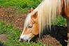 "<div class=""jaDesc""> <h4> Belgian Work Horse Grazing #2 - May 12, 2015 </h4> <p> </p></div>"