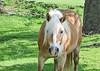 "<div class=""jaDesc""> <h4> Belgian Work Horse Looking at Me - May 12, 2015 </h4> <p> Georgetown, PA. </p> </div>"