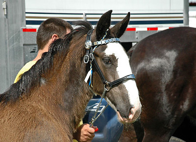 """<div class=""""jaDesc""""> <h4> Shire Filly Watching Mom Perform - July 11, 2010</h4> <p> This 3 month old Shire filly is already starting her show career. Here she is watching her mom in a halter class - she whinnied to her several times.</p> </div>"""