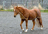 """<div class=""""jaDesc""""> <h4>Bronzz Prancing in Snow Squall - November 16, 2008 </h4> <p> My wife's Arabian Bronzz was prancing around our riding arena as a snow squall started.  His racing stripes are actually a trace clip that keeps him from getting too hot on warmer winter days.</p> </div>"""