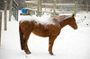 """<div class=""""jaDesc""""> <h4> Shiloh with Snow Blanket - January 10, 2009</h4> <p>  This is our youngest horse Shiloh napping through the beginning of a snow storm. Her snow blanket is about an inch thick after the first hour of snow.</p> </div>"""