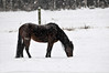 """<div class=""""jaDesc""""> <h4> Brandy Grazing in Snowy Pasture - December 14, 2013</h4> <p>Brandy is a rescued pony that Lynn is training.  She and her sister were found wandering loose together.  No one ever claimed them.</p> </div>"""