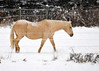 """<div class=""""jaDesc""""> <h4>Sapphire Headed Out to Snowy Pasture - December 14, 2013</h4> <p>Sapphire still has some of her dappled color under her winter coat.  She always leads the way out to pasture.</p> </div>"""