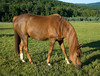 """<div class=""""jaDesc""""> <h4> Bronzz Grazing - July 5, 2009</h4> <p> This is Bronzz, Lynn's 15 year old Arabian gelding.  He was enjoying his early morning grass on a beautiful sunny day. </p> </div>"""