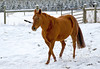 """<div class=""""jaDesc""""> <h4>Shiloh Prancing in Snow Squall - December 31, 2007 </h4> <p> Our 9 year old quarter horse Shiloh loves to play in the snow and entice Bronzz to race around kicking and bucking.</p> </div>"""