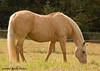 """<div class=""""jaDesc""""> <h4>Bronzz Prancing in Snow Squall - July 5, 2007 </h4> <p> Sapphire is our 26 year old Palomino mare.  Her dapples will fade and her coat will turn white beginning in the fall.</p> </div>"""