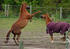 """<div class=""""jaDesc""""> <h4>Shiloh Boxing at Bronzz - May 22, 2006 </h4> <p>   The """"twins"""" as we lovingly refer to them take turns instigating play.  This time it was Shiloh's turn to rear and box at Bronzz to get him to chase her.  Muzzles are to slow down the grass eating not part of the mock battle gear.</p> </div>"""