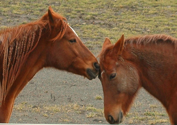 """<div class=""""jaDesc""""> <h4>Bronzz Nuzzling Shiloh - February 5, 2006 </h4> <p>  Sometimes before they start racing around, Bronzz and Shiloh will begin with a tender moment like this.</p> </div>"""