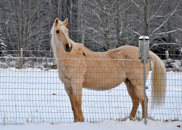 """<div class=""""jaDesc""""> <h4> Sapphire Posing in Snow - December 30, 2013</h4> <p>Sapphire is 33 this year and still going strong.  She has been retired from riding for 3 years, but is still the boss mare.</p> </div>"""