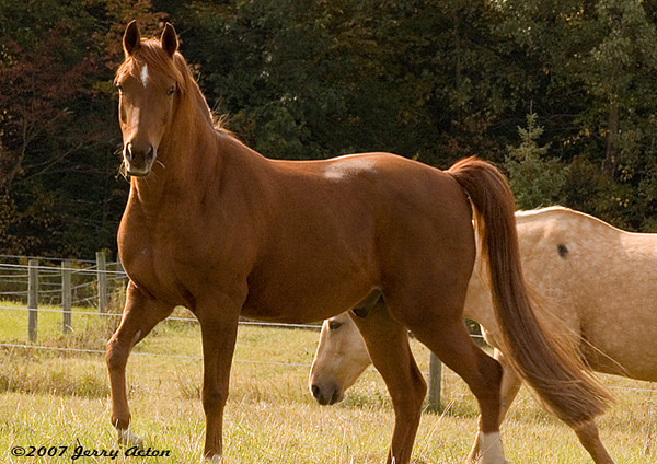 """<div class=""""jaDesc""""> <h4>Bronzz in Pasture - September 30, 2006 </h4> <p> Bronzz is our chestnut Arabian.  He enjoys prancing around with his head and tail high - always showing off.</p> </div>"""