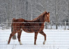 """<div class=""""jaDesc""""> <h4> Bronzz Strutting Through Snow - December 30, 2013</h4> <p>Bronzz loves to be out in the snow.  He looks extra flashy when he picks his legs up higher in the snow.</p> </div>"""