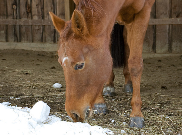 """<div class=""""jaDesc""""> <h4> Shiloh Having Lunch - November 29, 2008 </h4> <p> Our youngest horse Shiloh is finishing up the last bits of her lunch hay in her own run-in shed.  When she finishes her hay, she goes to other shed and cleans up the other horses leftovers.  This behavior has earned her the nickname Mrs. Hoover.</p> </div>"""