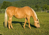"""<div class=""""jaDesc""""> <h4> Sapphire Grazing in Morning Sun - July 5, 2009</h4> <p>  I got out in the pasture early with the horses today to catch them in the glow of the rising sun.  This is my palomino mare Sapphire enjoying grass on a newly opened pasture.  Our vet is still amazed at how good she looks at 28 years old.</p> </div>"""