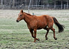 """<div class=""""jaDesc""""> <h4> Shiloh Cantering Up for Breakfast - April 15, 2014 </h4> <p> We have a bell on our back porch that we ring to let the horses know it is mealtime.  Sapphire and Bronzz always come cantering up right away, but Shiloh needs to get those last few mouthfuls of grass and always has to be called a second time.</p> </div>"""