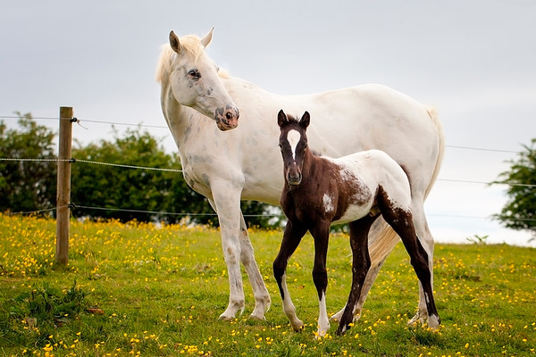 Appaloosa Mare and Colt