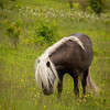 Wild ponies grazing at Grayson Highland State Park in Virginia. It is a great place to hike in Virginia along the Appalachian Trail.