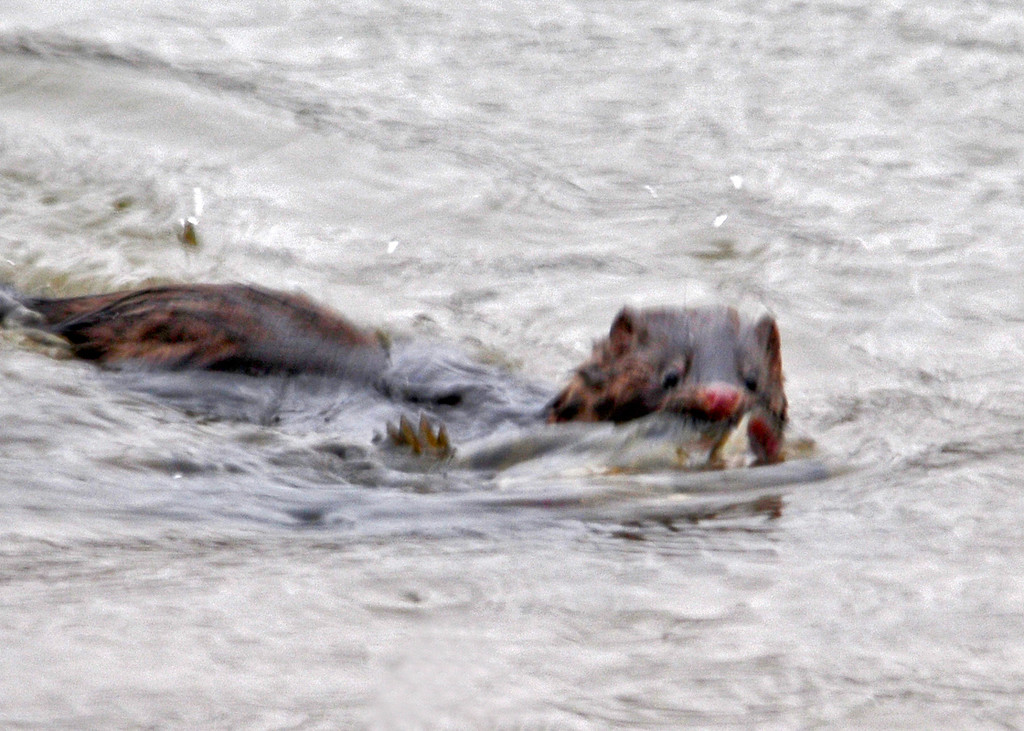 """<div class=""""jaDesc""""> <h4> Mink Wrestling with Catch - December 29, 2013</h4> <p>I was with a group doing a Christmas bird count when we saw this Mink wrestling a large fish about 50 feet off the shore of the Susquehanna River.  He finally managed to kill the fish and wanted to bring it to shore right in front of us.</p> </div>"""