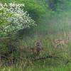 3 Deer in evening mist