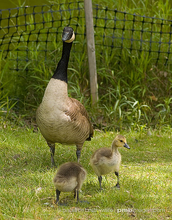 Canada Goose - Mother and her little goslings