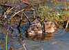 "<div class=""jaDesc""> <h4> Muskrat Watching Me - April 2, 2010 - Video Attached </h4> <p>  This Muskrat swam toward me as I was crossing a foot bridge by a local pond.  He stared at me for about a minute before diving under water.</p> </div> <center> <a href=""http://www.youtube.com/watch?v=fEIExMEGs40""  style=""color: #0000FF"" class=""lightbox""><strong> Play Video</strong></a>"