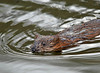 "<div class=""jaDesc""> <h4> Muskrat Swimming Across Pond - April 27, 2010 </h4> <p> I got a tip from a neighbor about Beaver that are chopping down trees around a pond, so I went to check it out.  I did not see any Beaver, but this Muskrat was busy moving reeds and grass chunks to one end of the pond.  In this shot he swam over toward me to see what I was up to.</p> </div>"