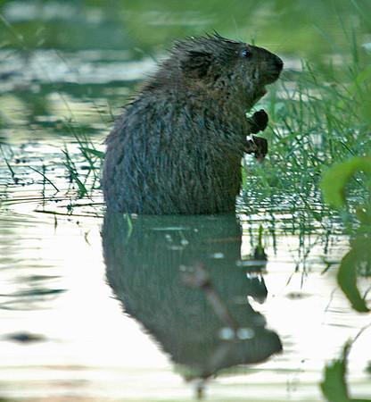"<div class=""jaDesc""> <h4>Muskrat Eating Grasses - June 2006</h4> <p>  This Muskrat was proceeding along slowly through shallow water munching on grasses.</p> </div>"
