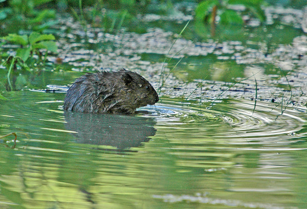 """<div class=""""jaDesc""""> <h4>Muskrat in Shallow Pool - June 2006</h4> <p>  While I was waiting for some interesting birds to appear, this Muskrat surfaced right in front of me in a shallow pool.</p> </div>"""