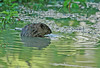 "<div class=""jaDesc""> <h4>Muskrat in Shallow Pool - June 2006</h4> <p>  While I was waiting for some interesting birds to appear, this Muskrat surfaced right in front of me in a shallow pool.</p> </div>"