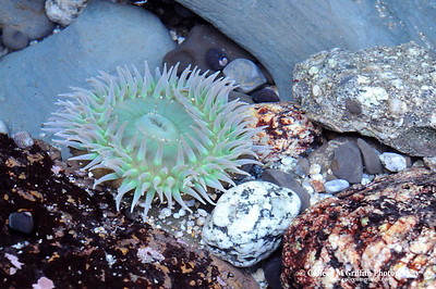 Anemone © 2008 Colleen M. Griffith. All Rights Reserved.  This material may not be published, broadcast, modified, or redistributed in any way without written agreement with the creator.  This image is registered with the US Copyright Office. www.colleenmgriffith.com www.facebook.com/colleen.griffith  California Tidal Pools At Low Tide