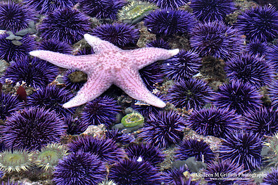Pink Starfish and Sea Urchins © 2009 Colleen M. Griffith. All Rights Reserved.  This material may not be published, broadcast, modified, or redistributed in any way without written agreement with the creator.  This image is registered with the US Copyright Office. www.colleenmgriffith.com www.facebook.com/colleen.griffith  California Tidal Pools At Low Tide