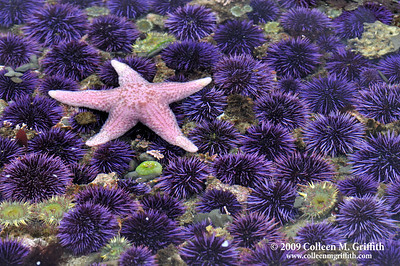 In A Sea Of Urchins © 2009 Colleen M. Griffith. All Rights Reserved.  This material may not be published, broadcast, modified, or redistributed in any way without written agreement with the creator.  This image is registered with the US Copyright Office. www.colleenmgriffith.com www.facebook.com/colleen.griffith