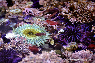 Green Anemone and Urchins © 2009 Colleen M. Griffith. All Rights Reserved.  This material may not be published, broadcast, modified, or redistributed in any way without written agreement with the creator.  This image is registered with the US Copyright Office.  www.colleenmgriffith.com www.facebook.com/colleen.griffith