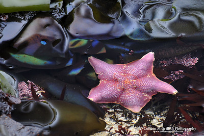 Pink Bat Starfish © 2008 Colleen M. Griffith. All Rights Reserved.  This material may not be published, broadcast, modified, or redistributed in any way without written agreement with the creator.  This image is registered with the US Copyright Office. www.colleenmgriffith.com www.facebook.com/colleen.griffith  Pacific Coast Tidal Pools, California.