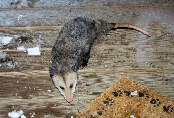 """<div class=""""jaDesc""""> <h4> Young Opossum Looking for Food - December 11, 2008 </h4> <p> The mat says """"Welcome"""".  Can I come in?  It is cold out here and I'm having a hard time finding any food.  This young Opossum was on our back porch the other night scrounging for something to eat.</p> </div>"""