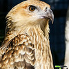 Hawk Head Shot