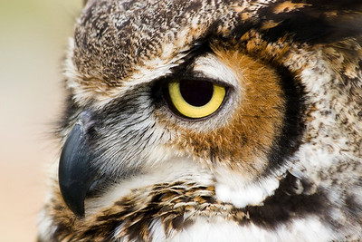 Great Horned Owl - Profile Head Shot