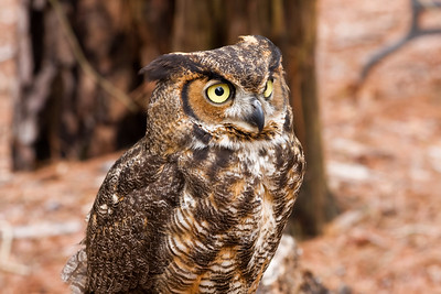 Great Horned Owl - Lots of Brown Tones