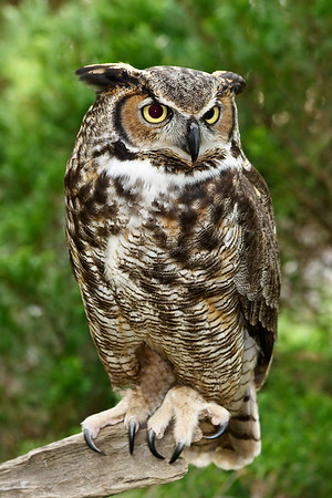 Great Horned Owl Standing on a Log
