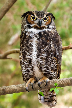 Great Horned Owl Sitting on a Tree Limb