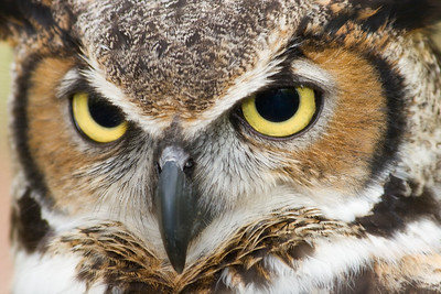 Great Horned Owl Close Up - Beautiful Big Eyes