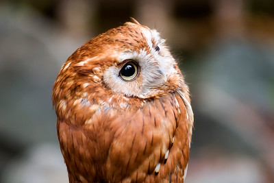 Eastern Screen Owl