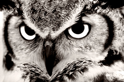 Great Horned Owl Close Up Black & White
