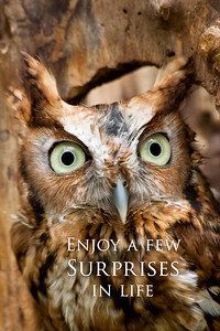Screech OwlEnjoy a few surprises in life