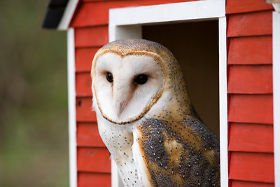 Barn Owl with red barn