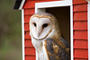 This barn owl was sitting in barn window